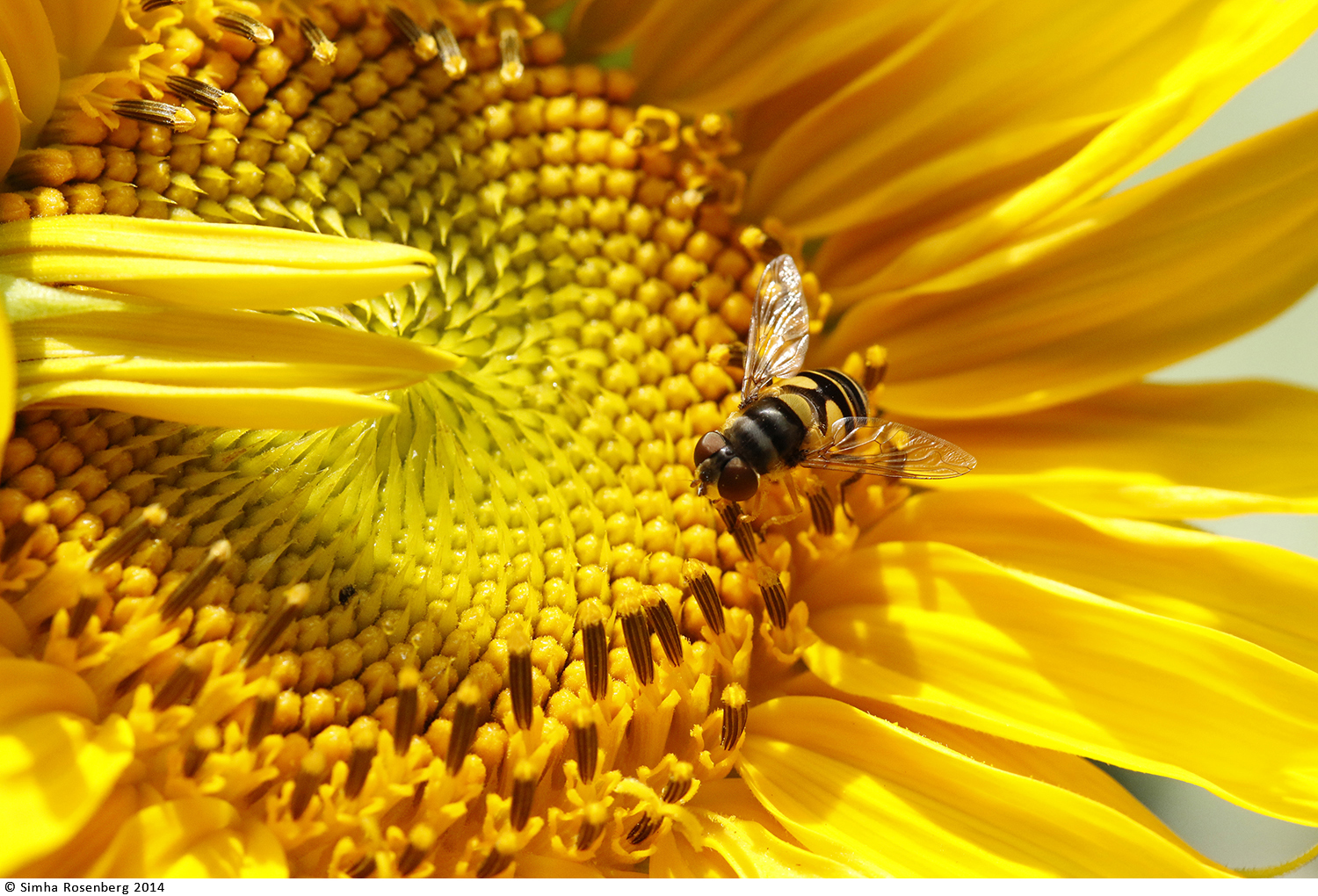 Bee intently pollinating a deep yellow sunflower illustrates the role of nonprofit communications in helping a organizations thrive.
